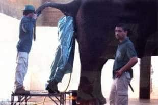 pulitore di elefanti