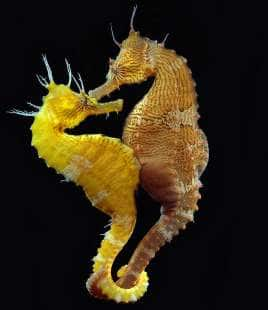 Il parto esplosivo del cavalluccio marino il maschio for Foto cavalluccio marino