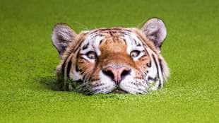 la tigre che sbuca dall acqua photoshop 14