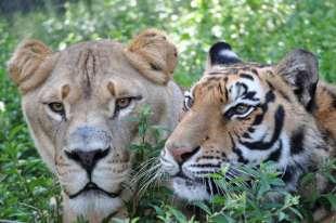 leone orso tigre 10