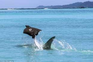 razza maculata contro squalo martello 1