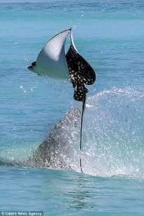 razza maculata contro squalo martello 10