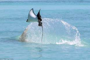 razza maculata contro squalo martello 2