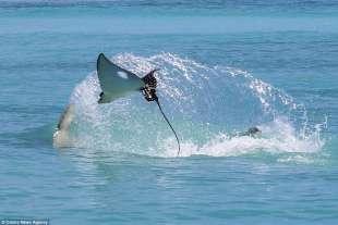 razza maculata contro squalo martello 4