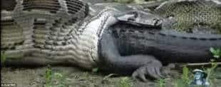 pitone e coccodrillo