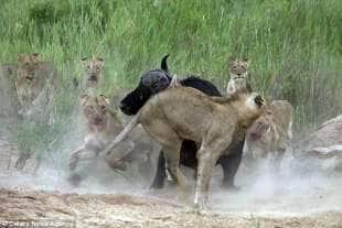 bufalo vs leone 2
