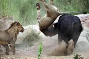 bufalo vs leone 4