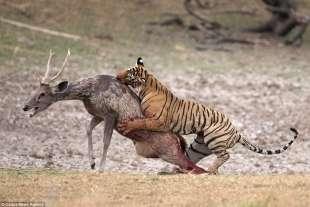 tigre vs cervo