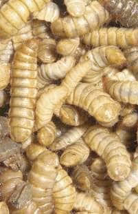 Su parassiti da Elena Malysheva - Materiale di lyambliya per una ricerca
