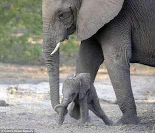 elefantino aiutato dalla proboscide materna