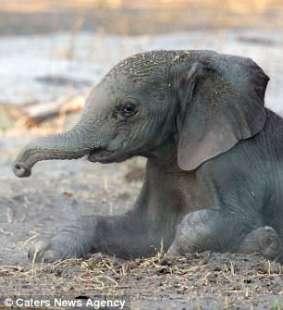 elefantino appena nato copia