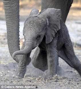 elefantino cerca equilibrio