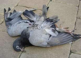piccione morto