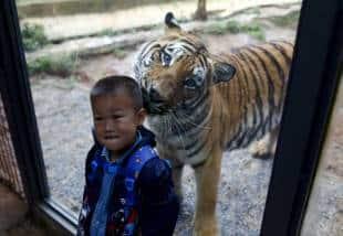 bambino e una tigre in uno zoo in cina