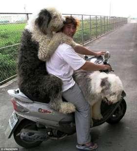 bobtail in tre sullo scooter
