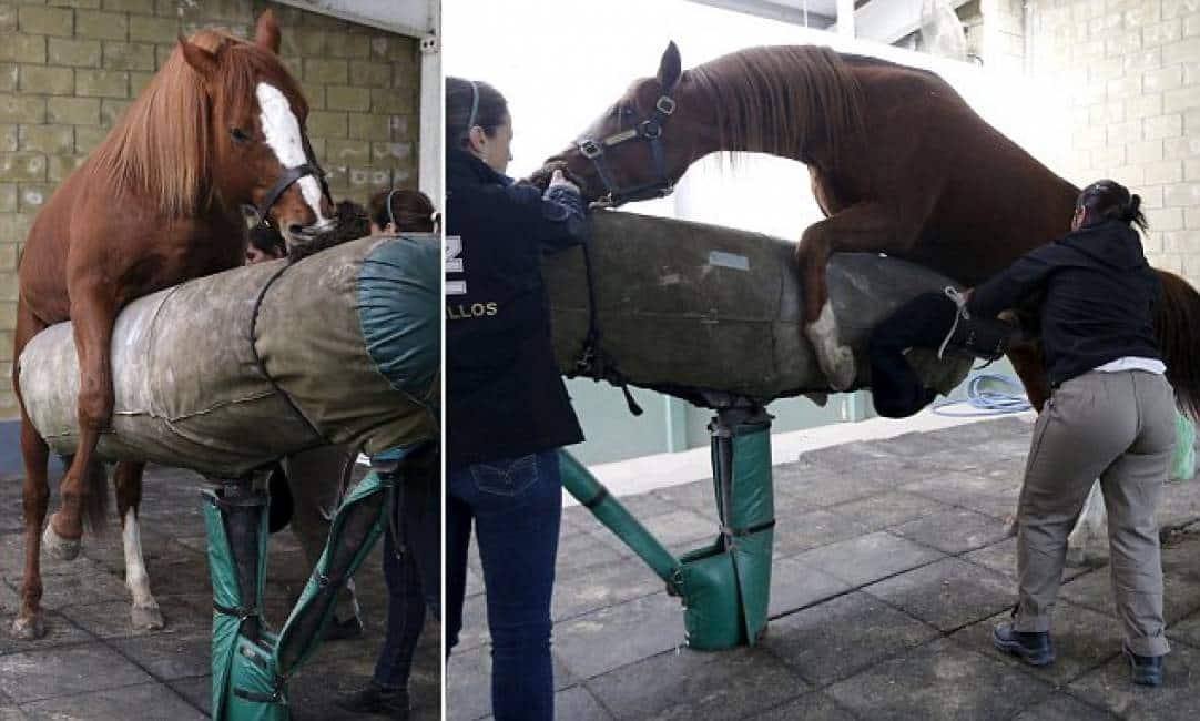 lunghezza pene cavallo
