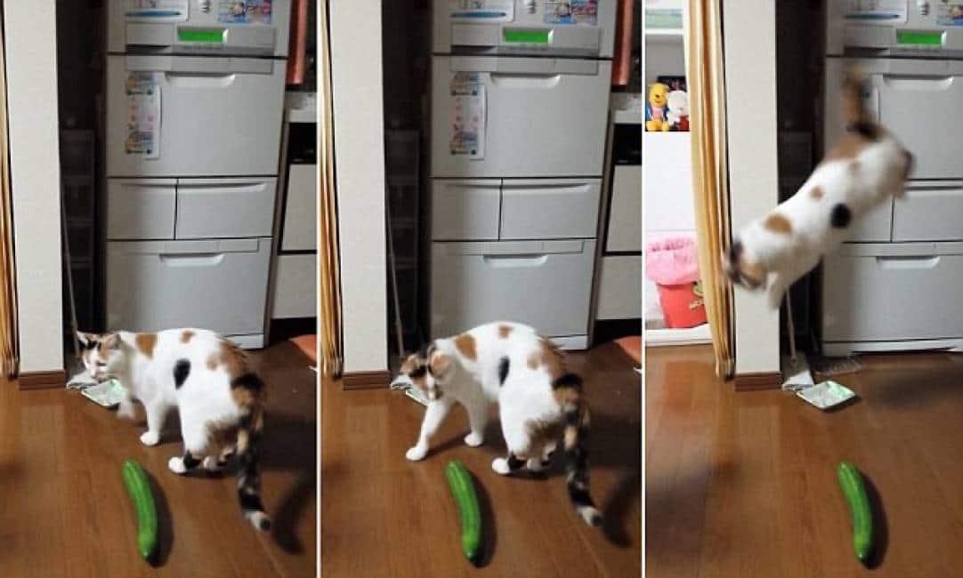gatto contro cetriolo: il mistero – il terrore dei felini quando si accorgono del mostruoso ortaggio