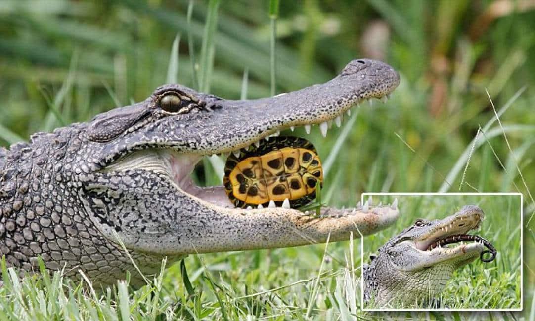 Tartarughe a colazione un alligatore spezza il carapace for Lago tartarughe