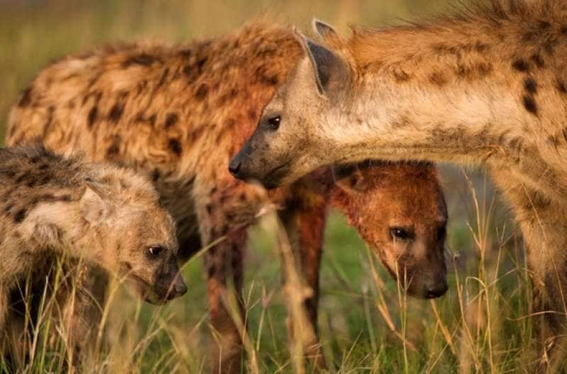 pene femminile di iena