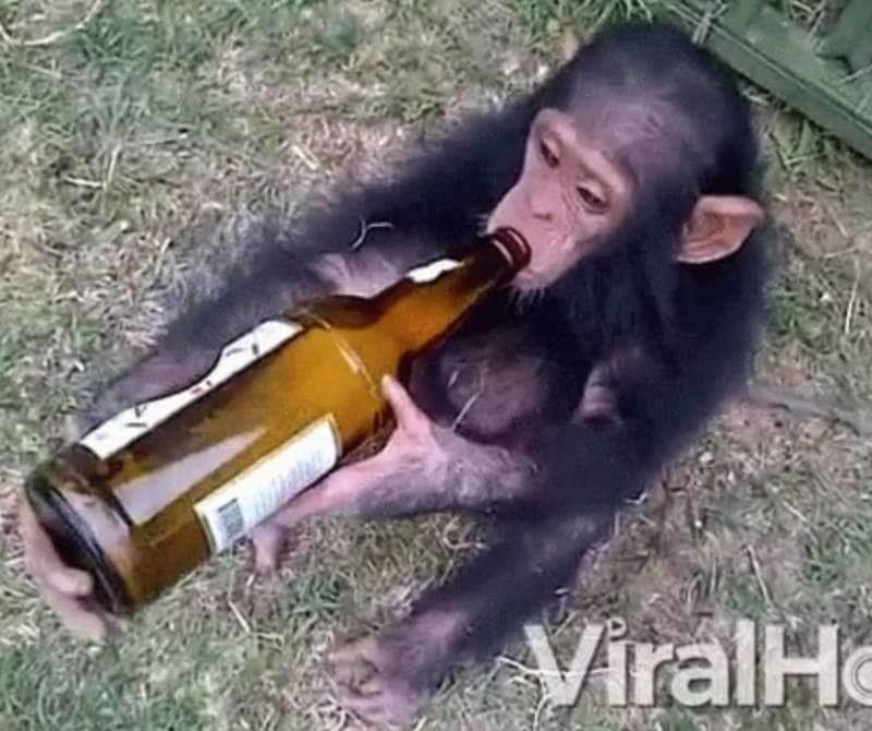 se me toccate l'alcol v'ammazzo! – una scimmia alcolizzata ha seminato il  panico in villaggio indian - Dagospia