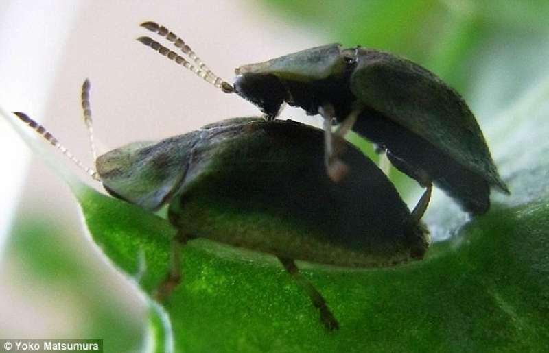 La femmina di questo insetto brasiliano ha il pene e il maschio la vagina: ora sappiamo perché