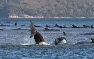 balene spiaggiate in tasmania 3